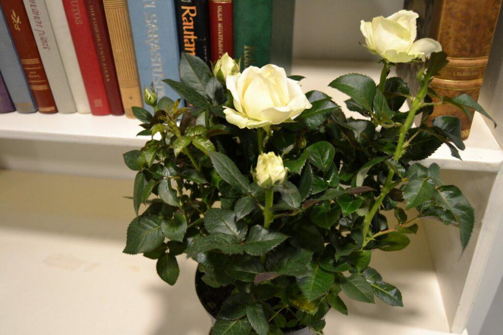 Eeron lahjoittama naistenpäivän ruusu